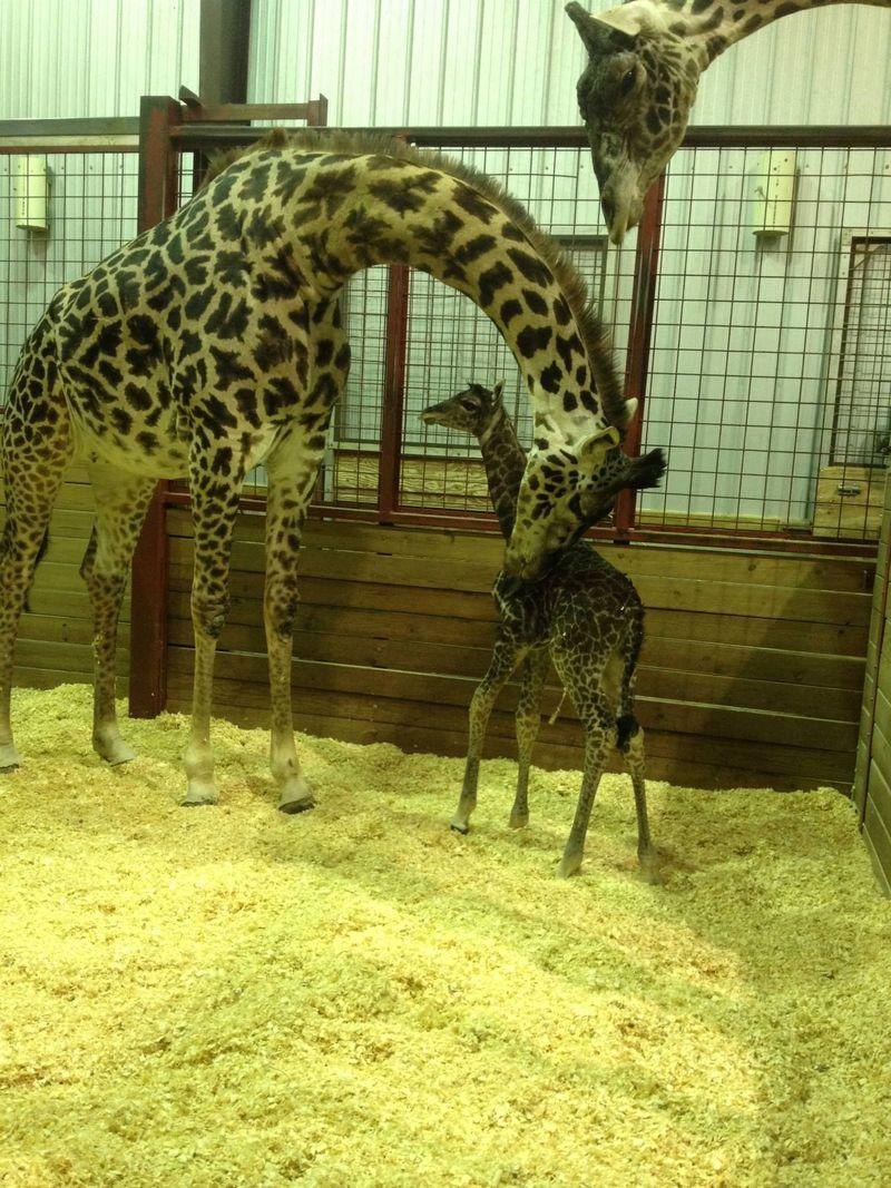 FranklinPark_GiraffeBaby_3