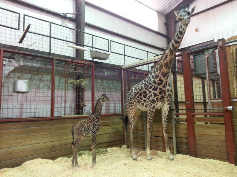 FranklinPark_GiraffeBaby_4