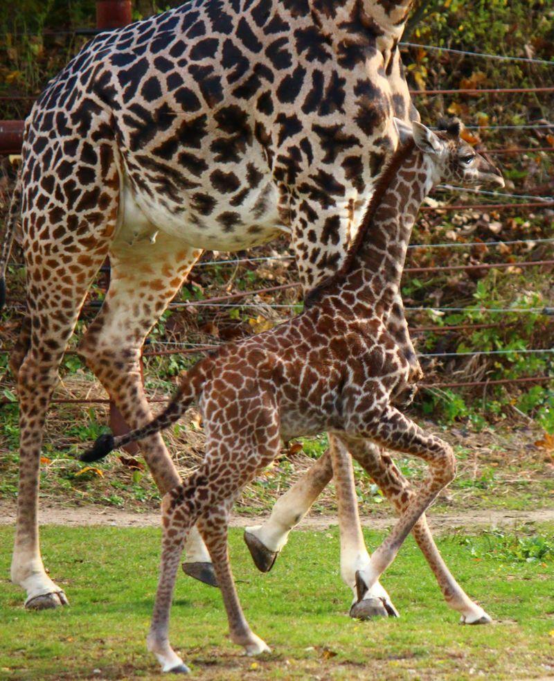 FranklinPark_GiraffeBaby_6