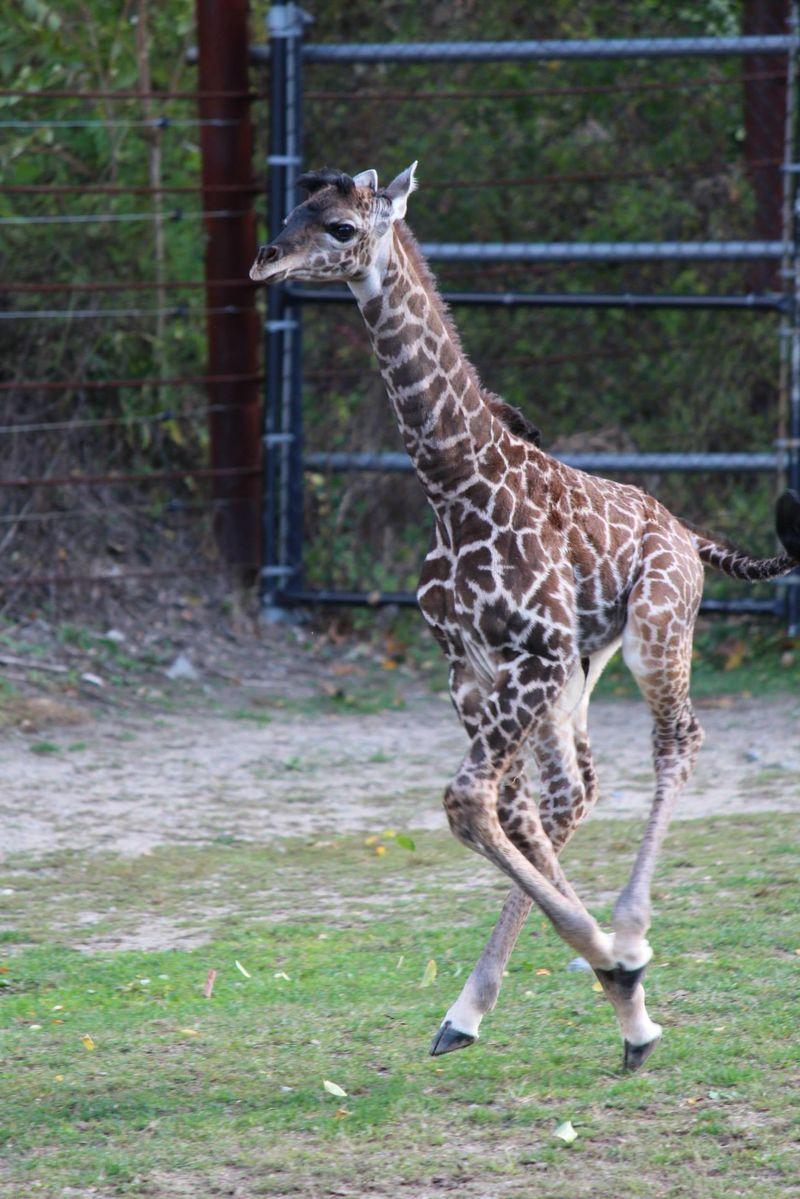 FranklinPark_GiraffeBaby_8