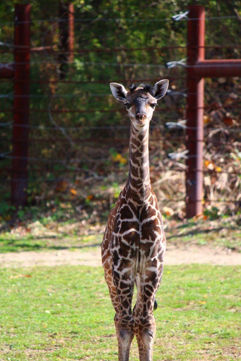 FranklinPark_GiraffeBaby_11