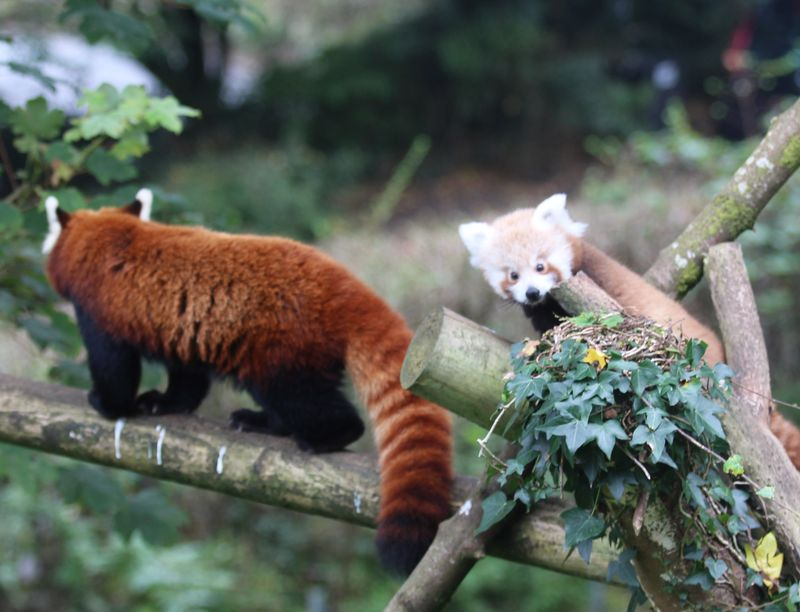 (5)  When not foraging for food on the ground, the red panda spends most of its time in the trees!