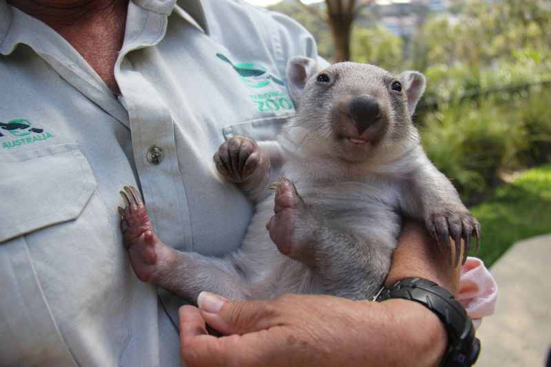 Chloe the Wombat (5) Photo by Paul Fahy