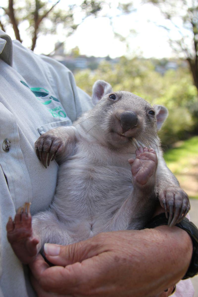 Chloe the Wombat (8)