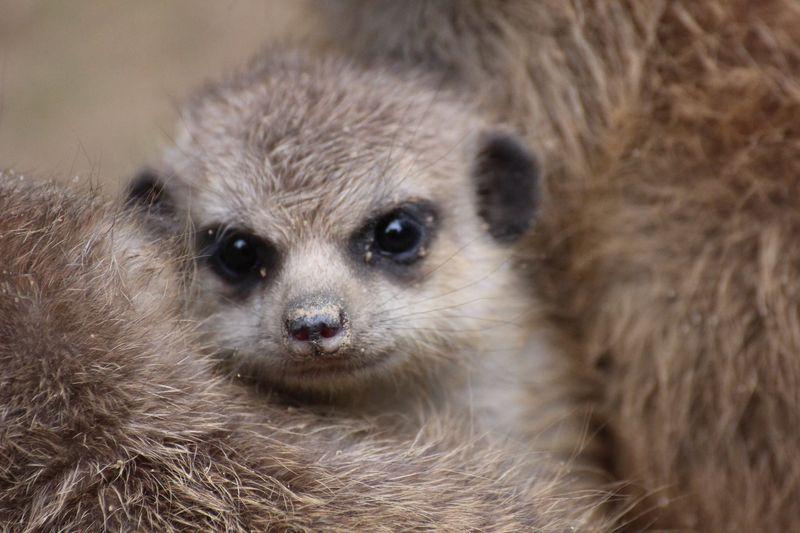 Meerkats_ZooOsnabruck_3