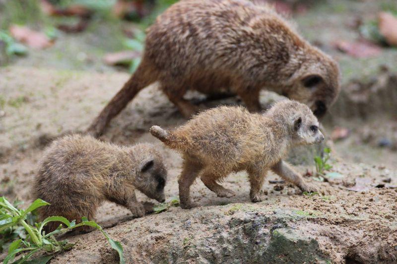 Meerkats_ZooOsnabruck_7