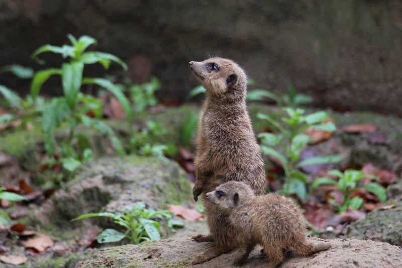 Meerkats_ZooOsnabruck_1