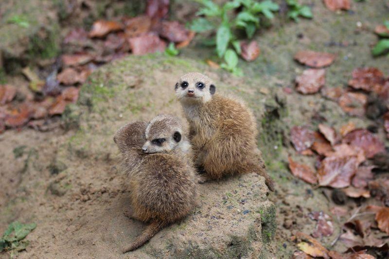 Meerkats_ZooOsnabruck_2