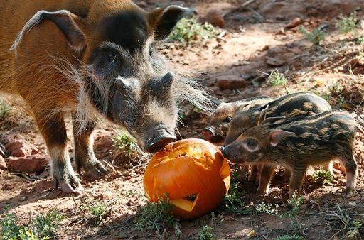 Hogs_OKC