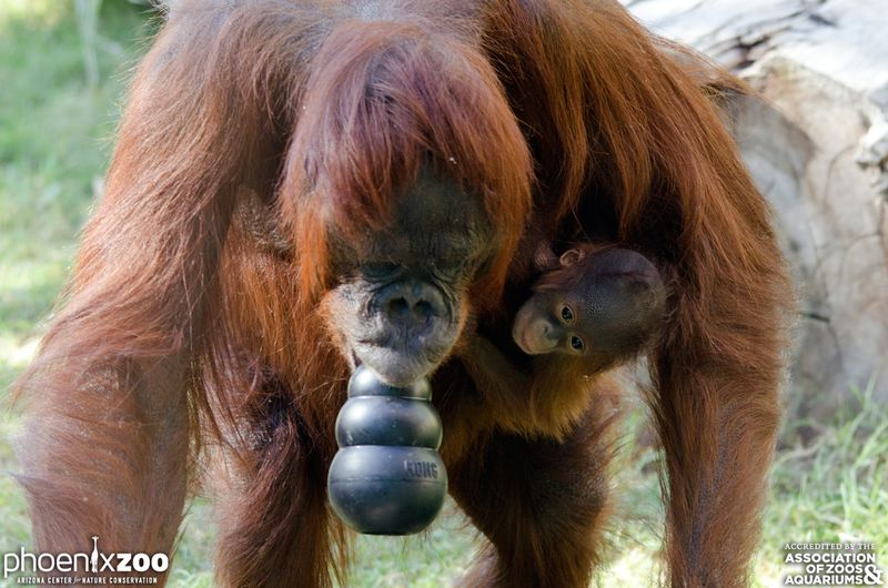 Phoenix-Zoo-Bornean-orangutan-baby-01-photo-by-Joseph-Becker