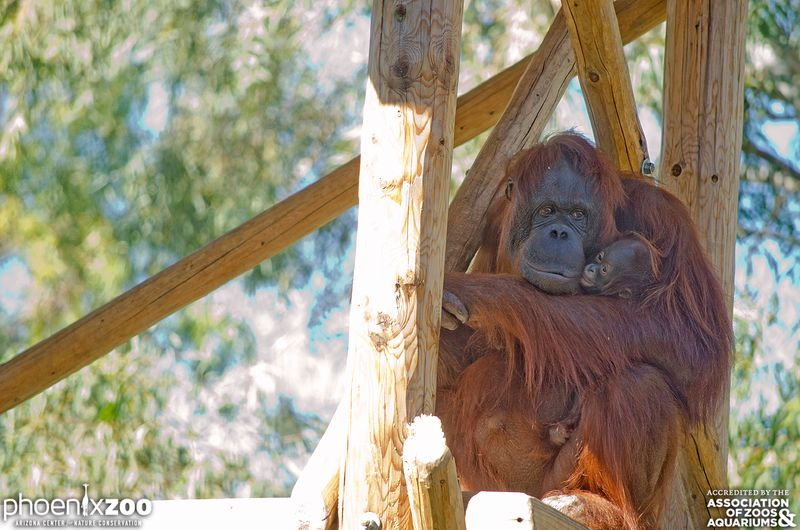 Phoenix-Zoo-Bornean-orangutan-baby-02-photo-by-Joseph-Becker