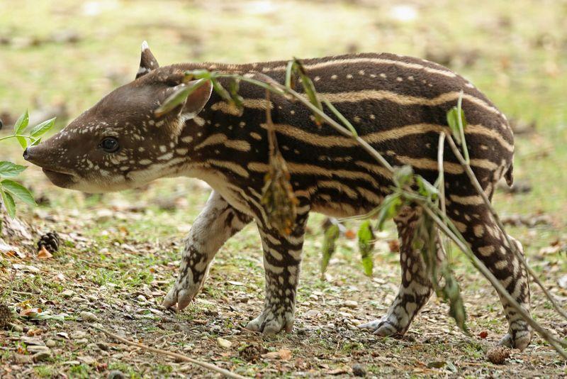 4_Tapir baby walking