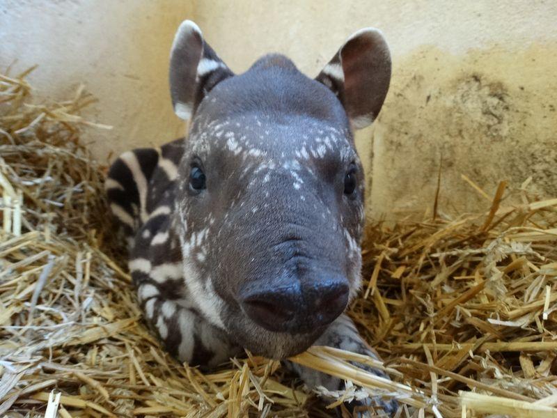 5_Baby Tapir on straw