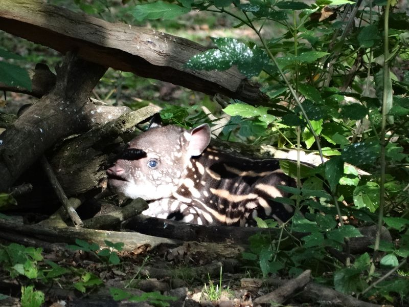 8_Baby Tapir brilliantly camouflaged in enclosure at Cotswold Wildlife Park