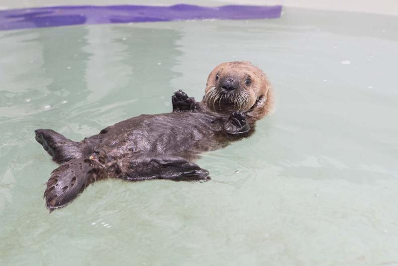 Shedd_Sea Otter Pup_17