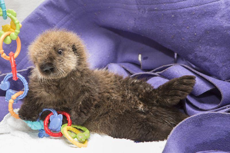 Shedd_Sea Otter Pup_26