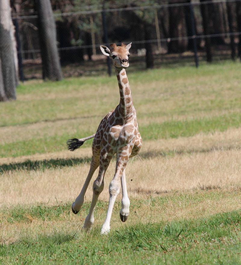 Ajali giraffe calf SM (7)