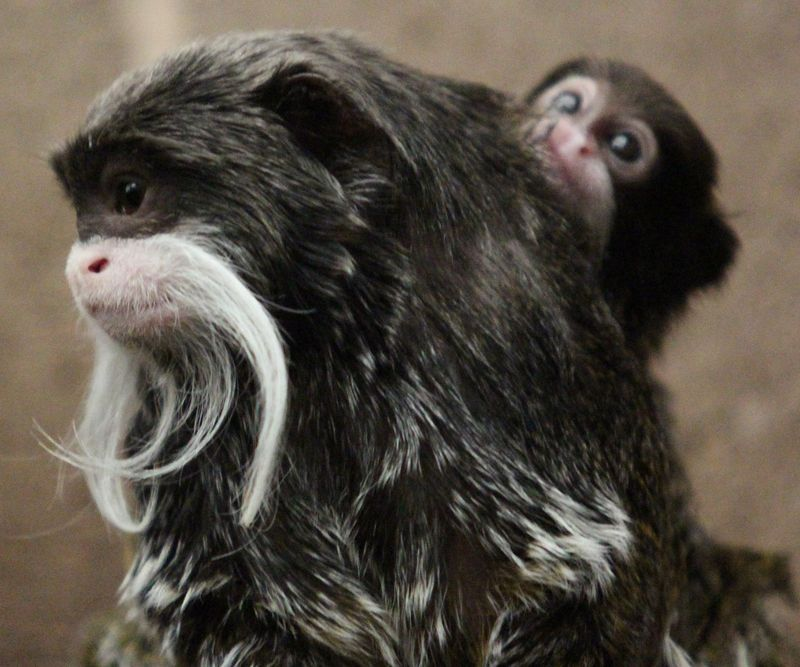 (5)  Lucky is the third emperor tamarin to be born at the zoo in 2014