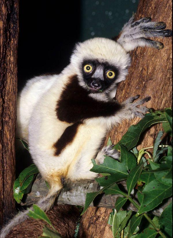 jovian star of zoboomafoo passes at duke lemur center