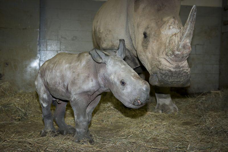 Rhino (White) Calf 3771 - Grahm S. Jones, Columbus Zoo and Aquarium