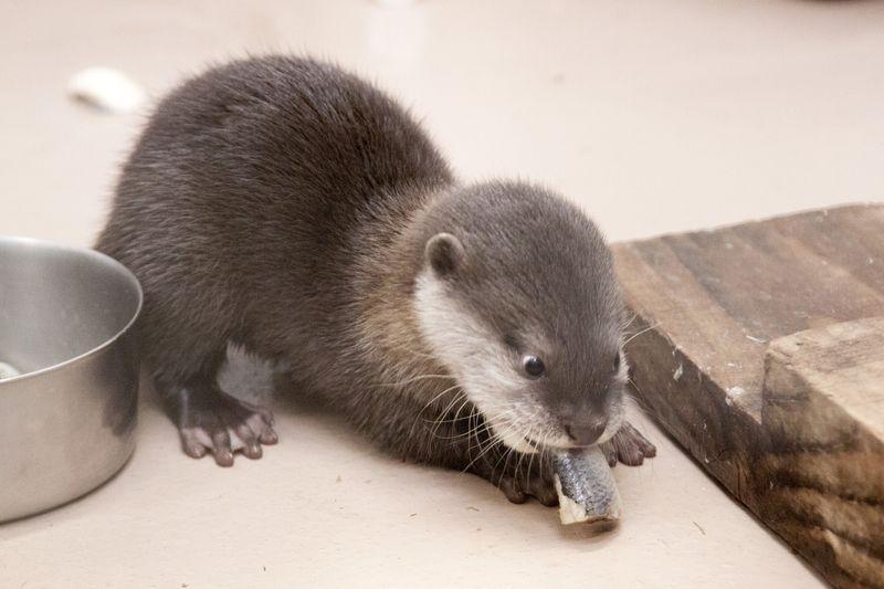 Small-clawed-otter_Jilin_03
