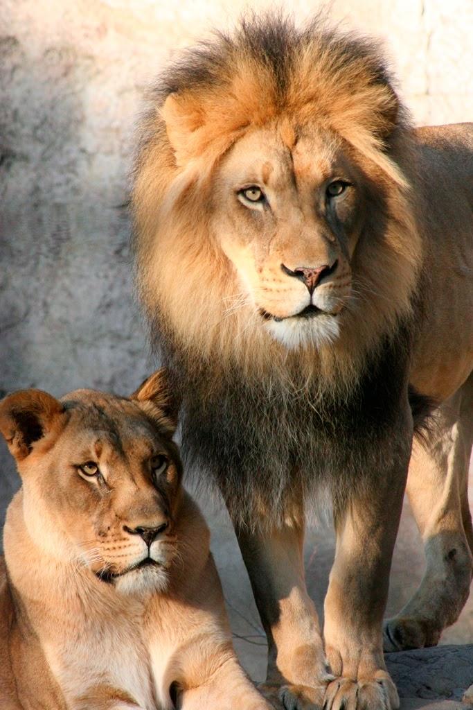 Lion-23Dec13 Credit Erik Bowker (25)