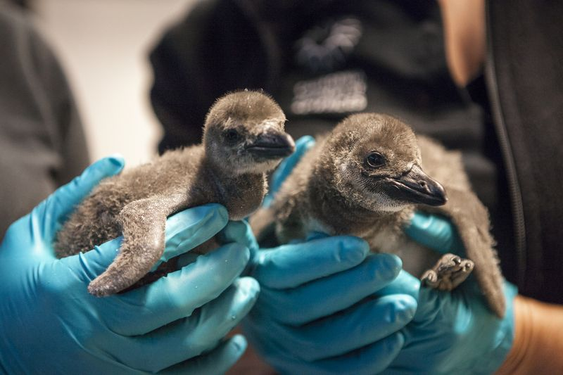 Penguin_Chicks_4