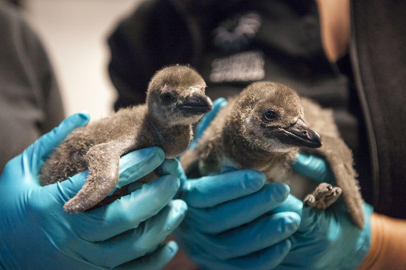 Penguin_Chicks_4