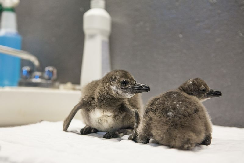 Penguin_Chicks_2