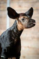 First Okapi Birth at Houston Zoo