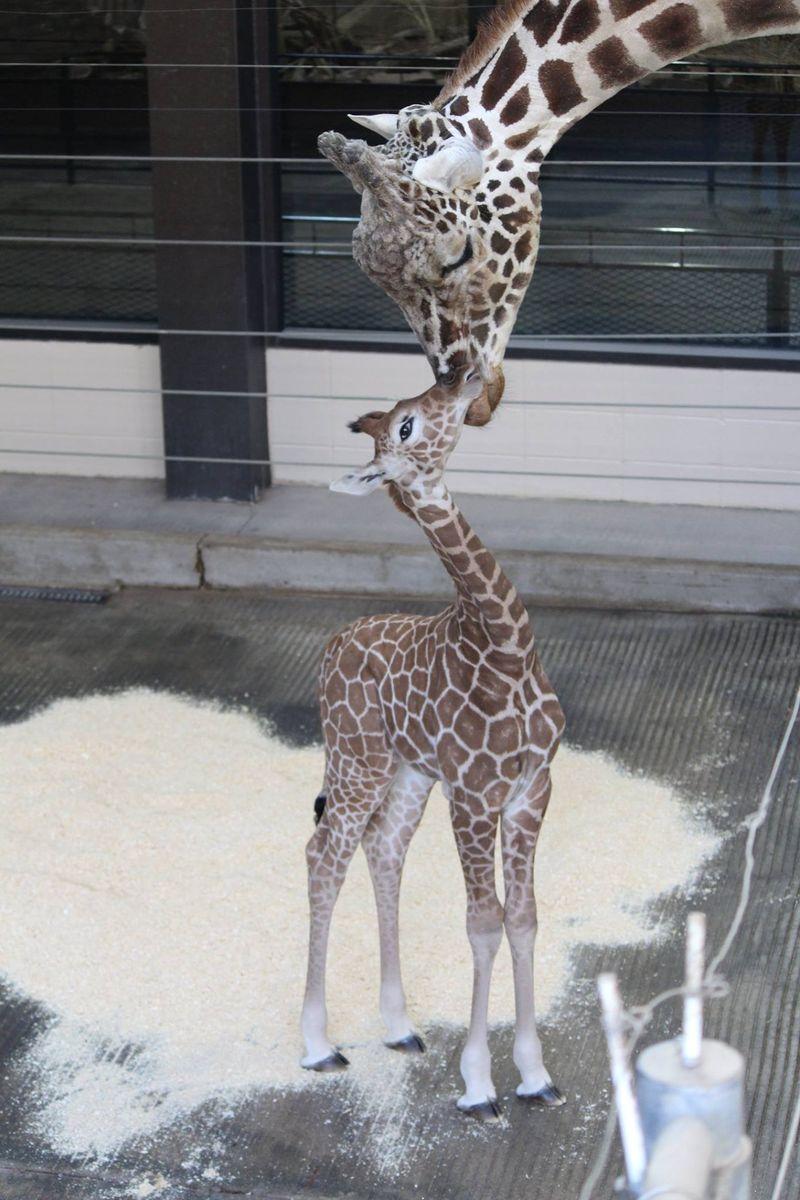 OmahaHenryDoorlyZoo_GiraffeCalf_1