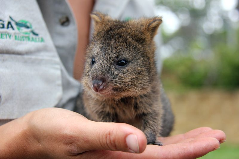 Quokka Joey And Taronga Zoo Keeper Become Roomies Zooborns