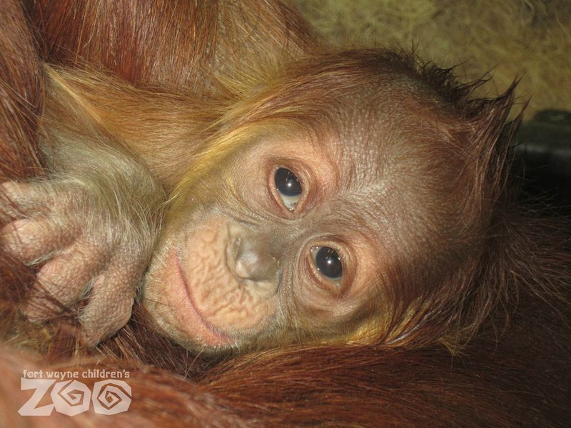 Baby Sumatran Orangutan - 10 days old - Fort Wayne Children's Zoo - credit Dr Kami Fox