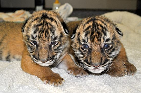 malayan tiger brothers stick together