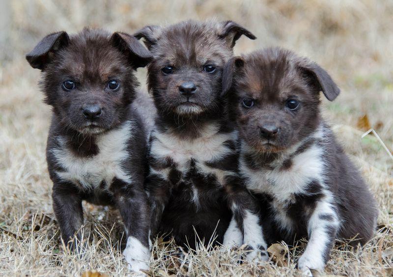 Three pups