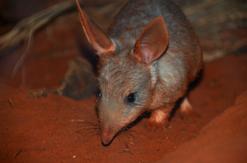 Bilby Joeys_Photo by Robert Dockerill (15)
