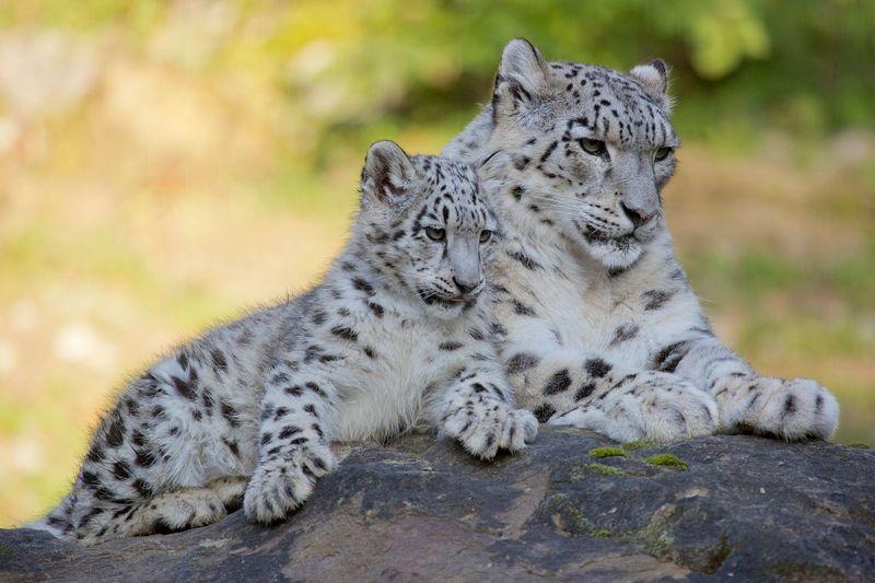 ZooZurich_SnowLeopards_Peter Bolliger_4