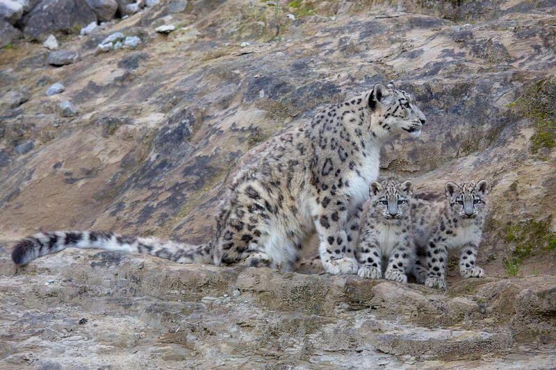 ZooZurich_SnowLeopards_Peter Bolliger_3
