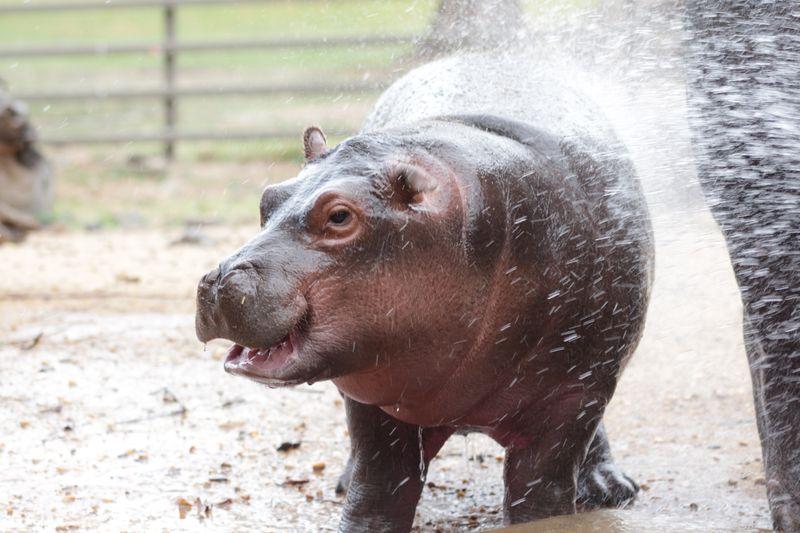 Hippo calf enjoying being hosed_December2014_MT (87)