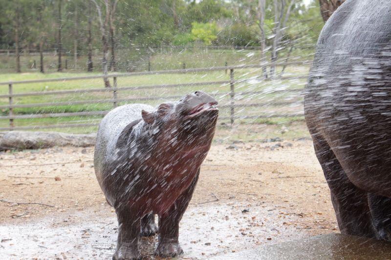 Hippo calf enjoying being hosed_December2014_MT (44)