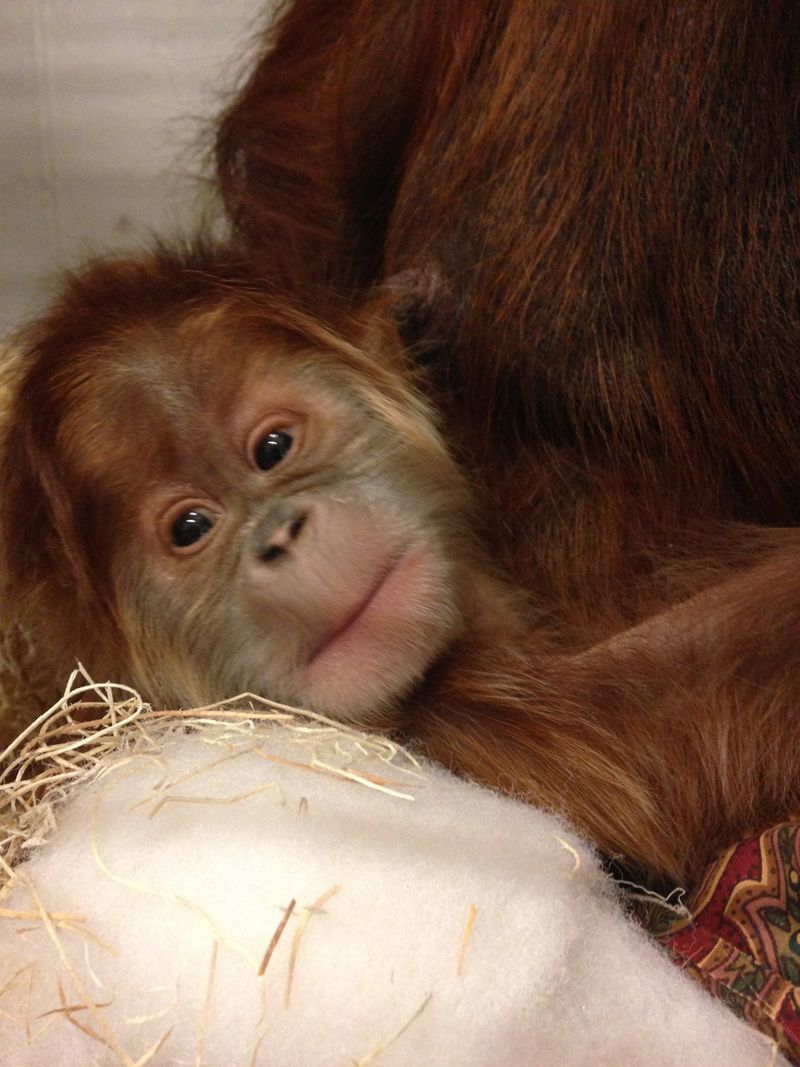 Baby-orangutan-Jan-1-2015_IMG_8312_Stephanie-Braccini-Saint-Louis-Zoo_web