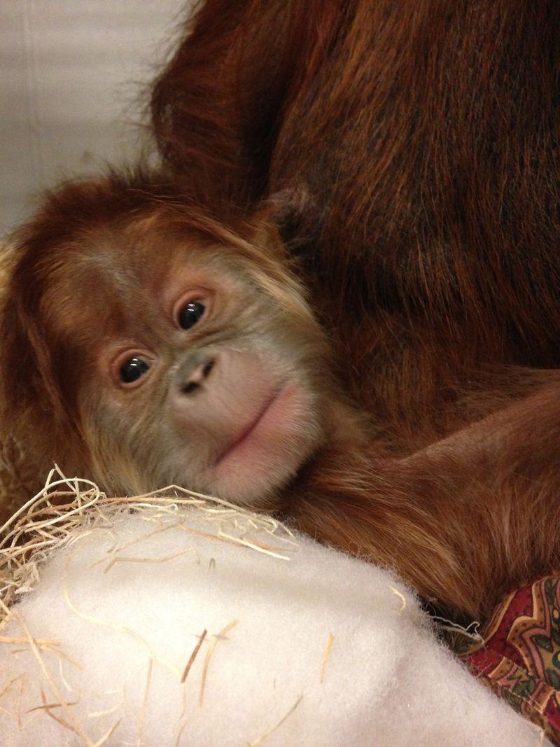 help name this rare baby orangutan zooborns. Black Bedroom Furniture Sets. Home Design Ideas