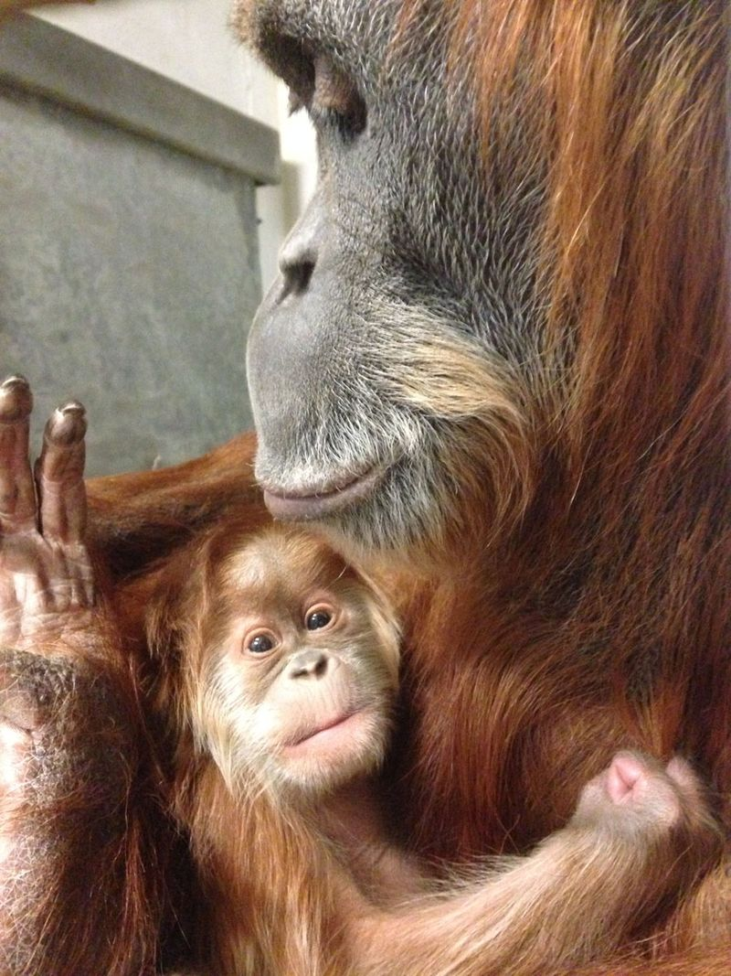 Baby-orangutan-Jan-1-2015_IMG_8314_Stephanie-Braccini_Saint_Louis_Zoo_web