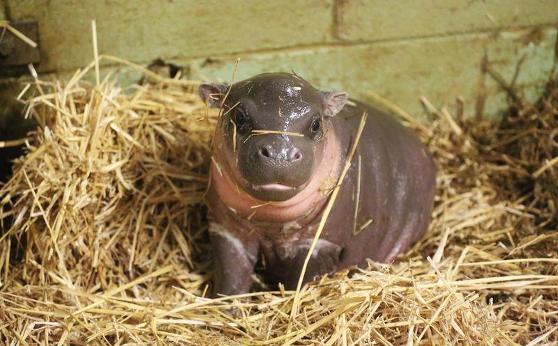 Pygmy-hippo-calf-(5)