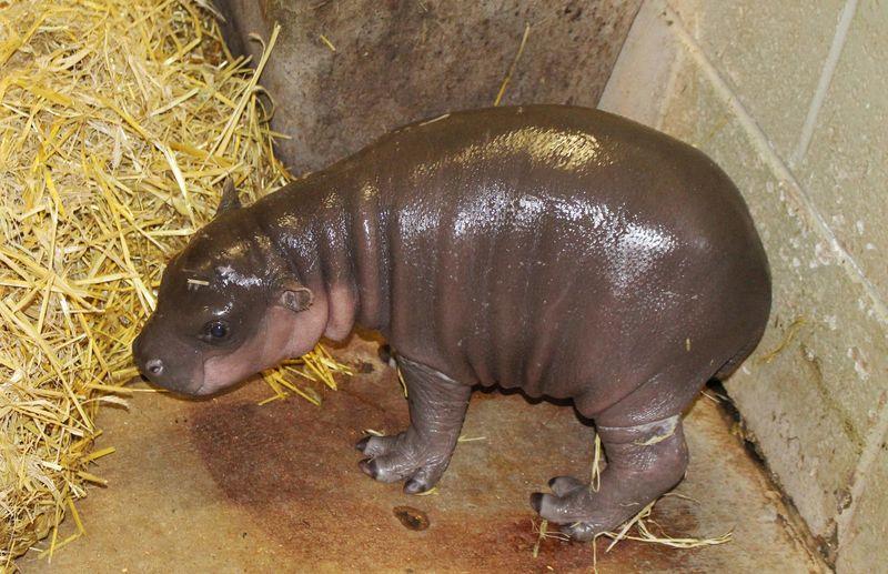 Baby-pygmy-hippo-1