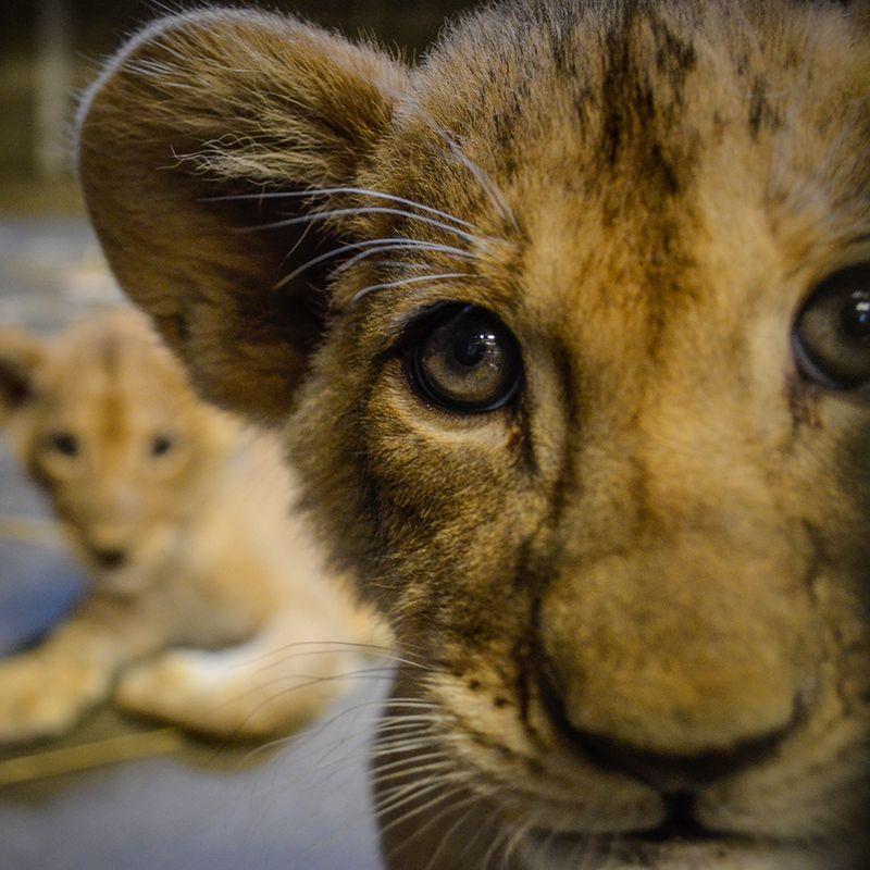 Lioncubs-2_lo