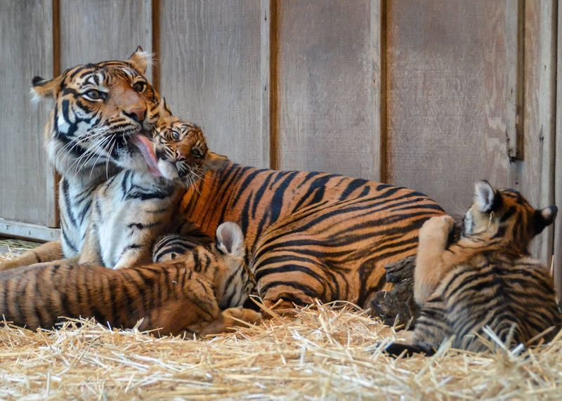Clean-up Time for Tiger Triplets