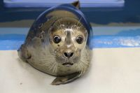 Blind Harbor Seal Finding New Cues