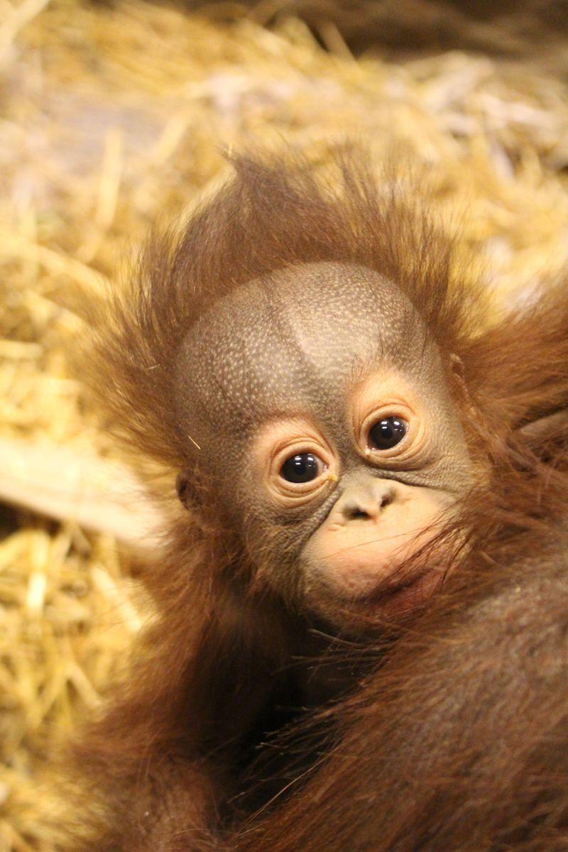 Baby Orangutan (1)