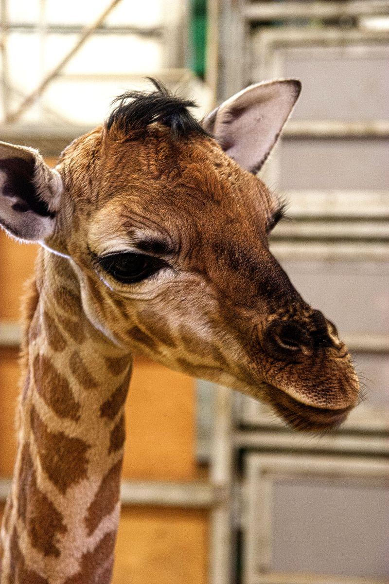 2015 01 PZ giraffe 2
